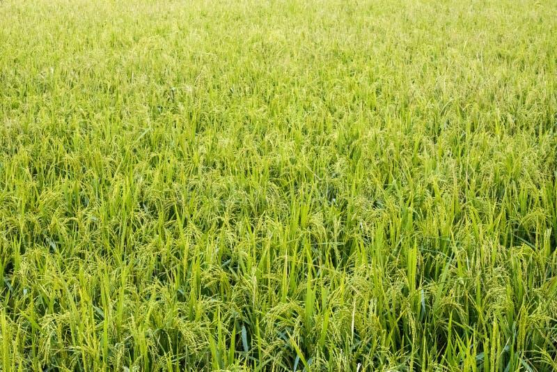 El paisaje del campo de arroz foto de archivo