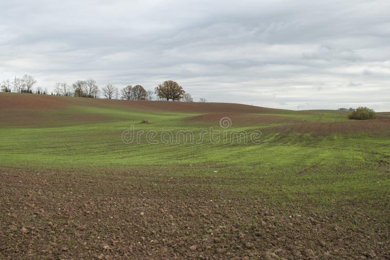 El paisaje del otoño con trigo verde brota en campo de la agricultura fotos de archivo