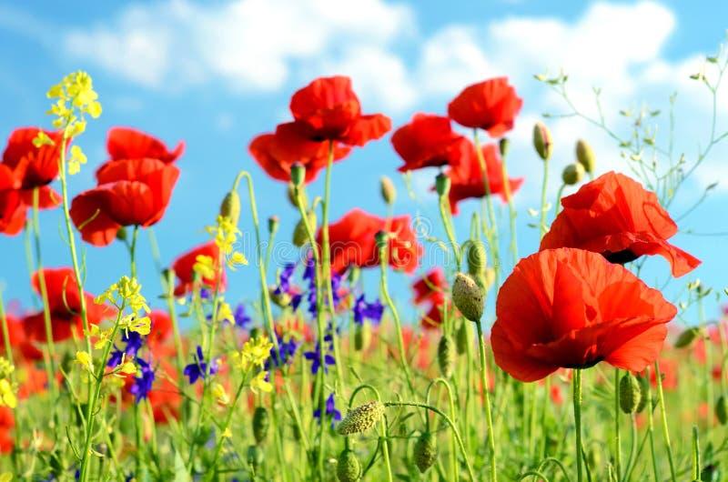 El paisaje escénico con las amapolas de las flores contra el cielo con las nubes descansa, relajación, meditación, alivio de tens fotografía de archivo