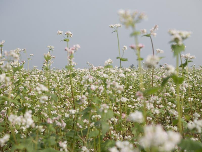 El paisaje hermoso del campo del alforfón que muestra el alforfón blanco florece en la floración fotos de archivo