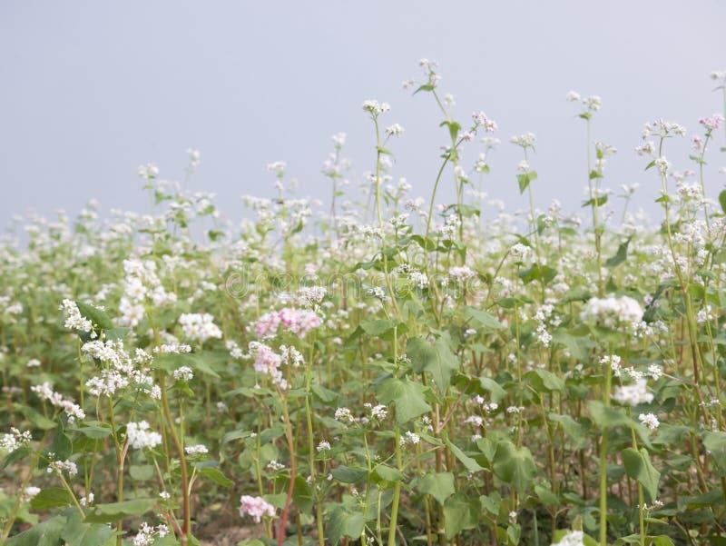 El paisaje hermoso del campo del alforfón que muestra el alforfón blanco florece en la floración fotografía de archivo libre de regalías