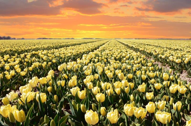 El paisaje maravilloso con un campo de tulipanes florece en la puesta del sol (con referencia a imágenes de archivo libres de regalías
