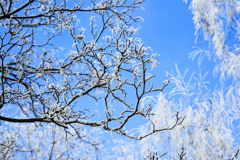 El paisaje natural del invierno con las ramas y los árboles de abedul cubrió w imagen de archivo