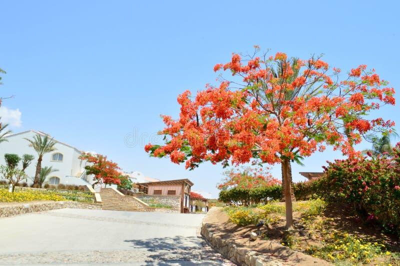 El paisaje, vegetación, árbol real con las flores florecientes del rojo, palmera del Delonix con verde se va en un centro turísti imagen de archivo