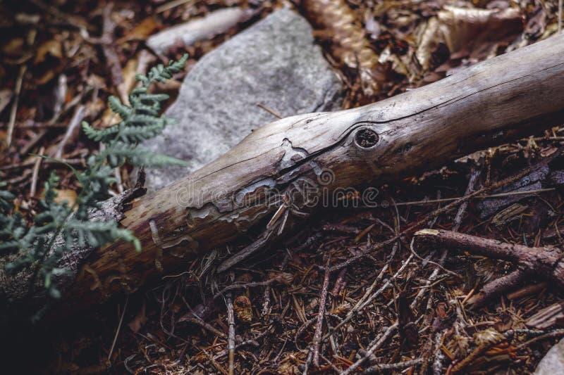 El palillo con ahuecado corta a través carcomas Un modelo natural hermoso en madera imagen de archivo