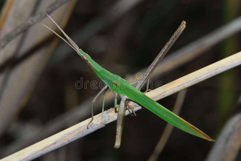 El palillo del insecto imágenes de archivo libres de regalías