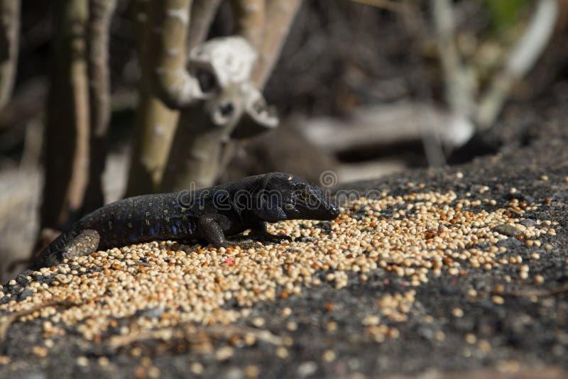 El palmae típico del galloti de Tizon Gallotia del lagarto de Palma del La en el Los puede fotografía de archivo libre de regalías