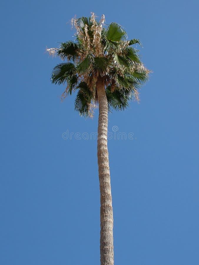 EL-Palme lizenzfreie stockfotografie