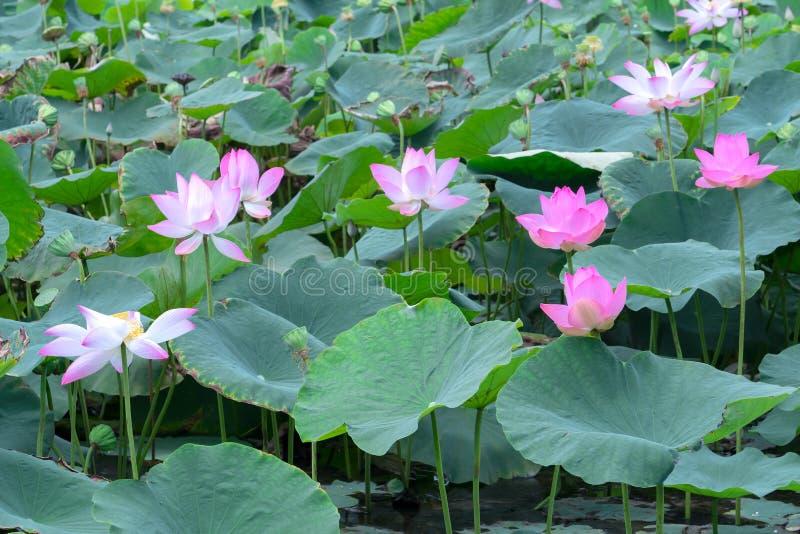 El panorama de las charcas de loto en campo pacífico y reservado fotografía de archivo