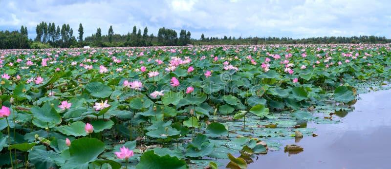 El panorama de las charcas de loto en campo pacífico y reservado imagen de archivo libre de regalías