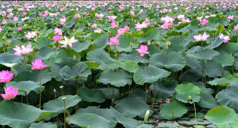 El panorama de las charcas de loto en campo pacífico y reservado foto de archivo
