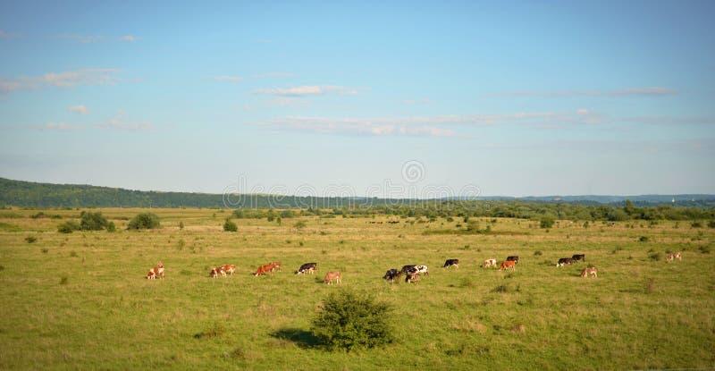 El panorama del campo donde una manada de las vacas que pastan imagenes de archivo