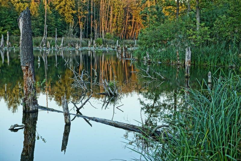 El pantano demasiado grande para su edad con la vegetación verde y los árboles secos en el agua fotografía de archivo