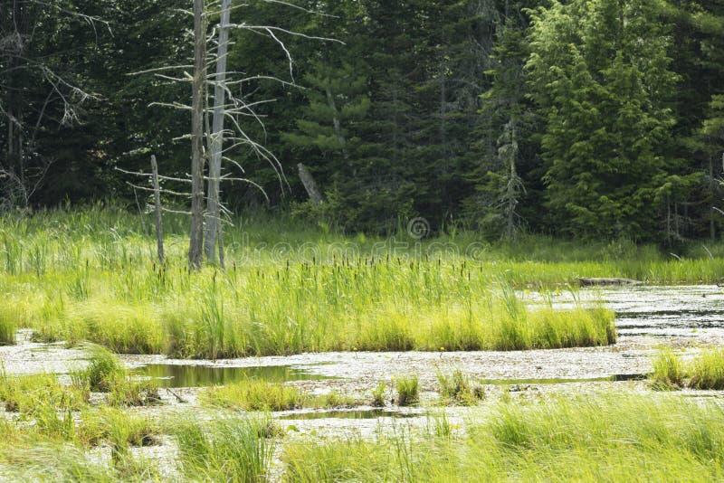 El pantano formó por una presa del castor en New Hampshire fotos de archivo