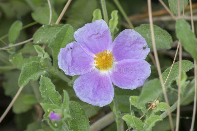 El pantano subió ( Rosa palustris) flor Primer imagenes de archivo