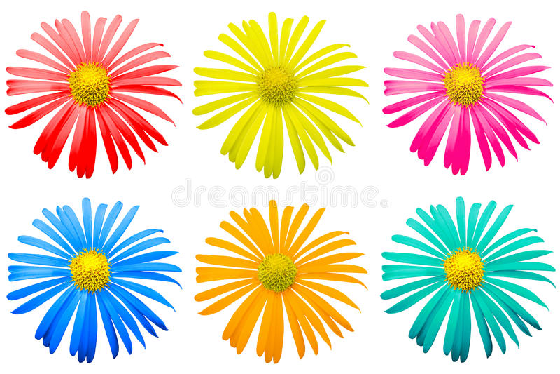 El paquete del crisantemo exótico coloreado florece macro aislado foto de archivo