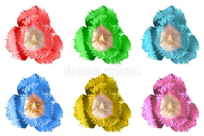 El paquete del tulipán blando exótico coloreado florece macro aislado imagen de archivo libre de regalías