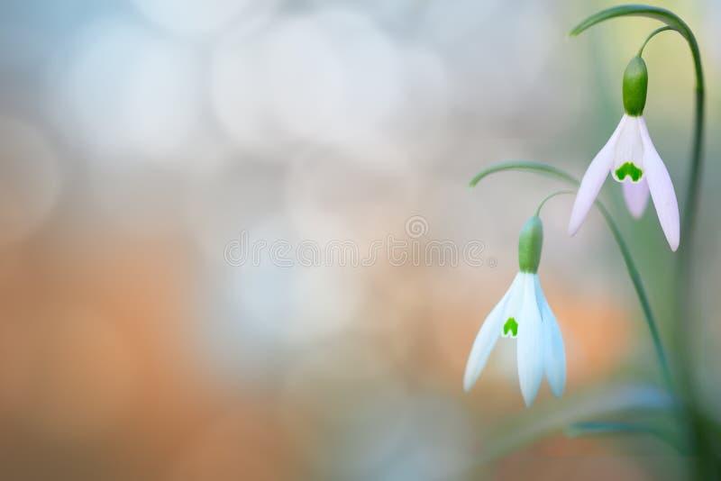 El par de nieve cae la flor salvaje blanca de la primavera temprana imágenes de archivo libres de regalías