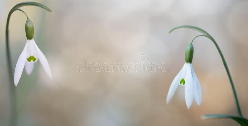 El par de nieve cae la flor salvaje del blanco puro fotos de archivo