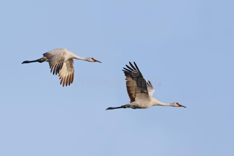 El par de Sandhill Cranes el canadensis en vuelo - Gainesvill del Grus fotos de archivo libres de regalías