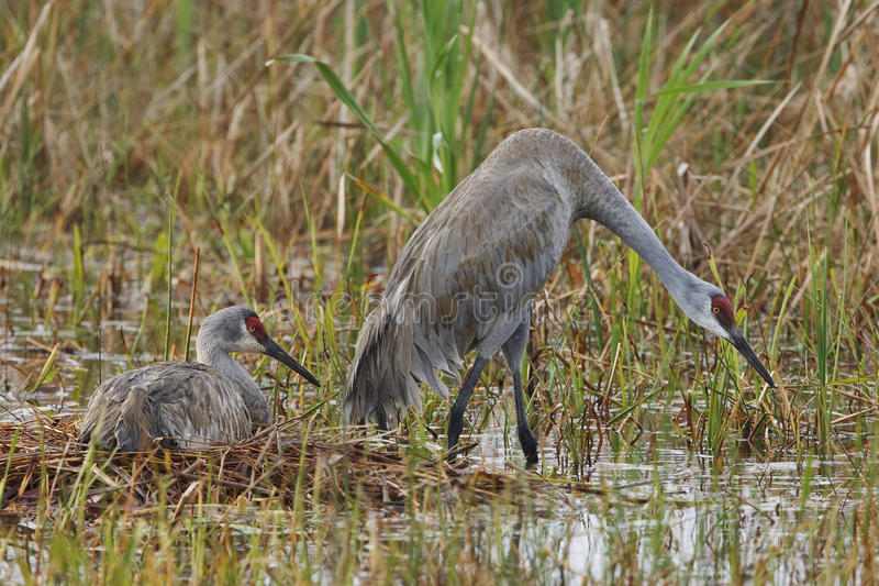 El par de Sandhill Cranes en su jerarquía - la Florida foto de archivo libre de regalías