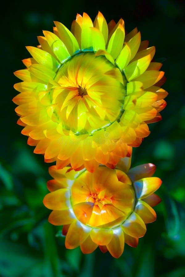 el par florece amarillo imagen de archivo