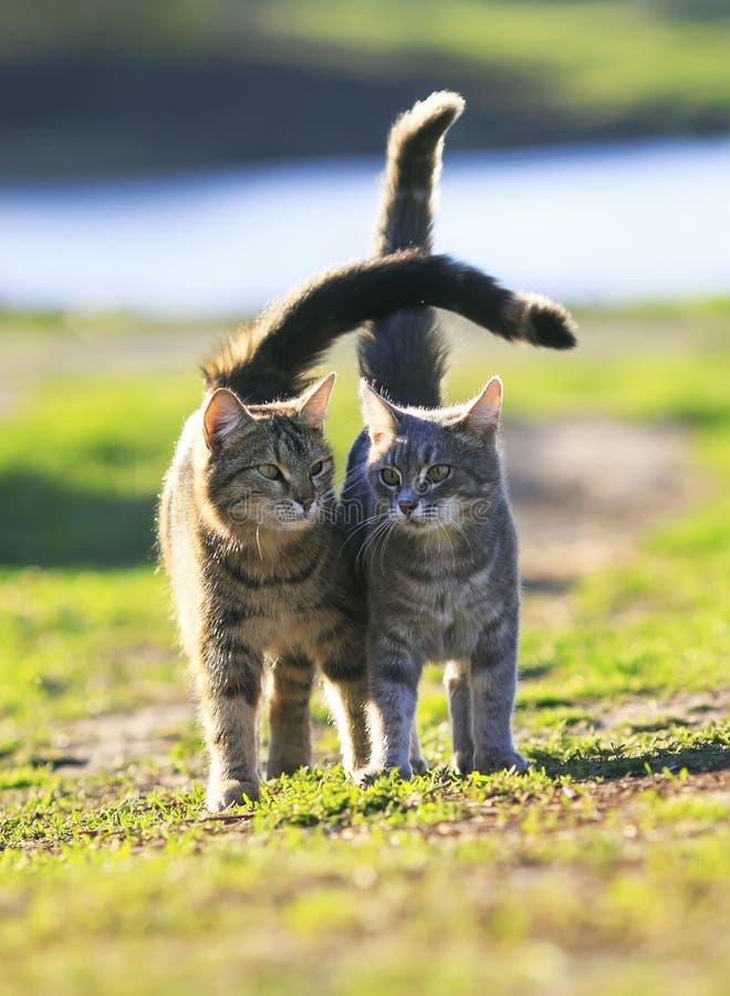 El par rayado de gatos de los amantes va en un prado verde en primavera fotos de archivo libres de regalías