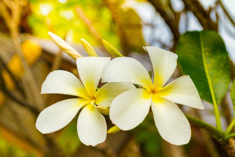 El par tropical de las flores, del frangipani o del prumelia para las flores románticas y la luna de miel florece fotos de archivo libres de regalías