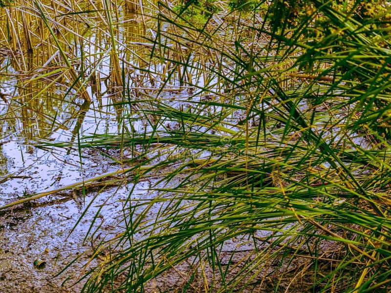 El parque de naturaleza abandonó el lago viejo, cañas, pantano imagenes de archivo