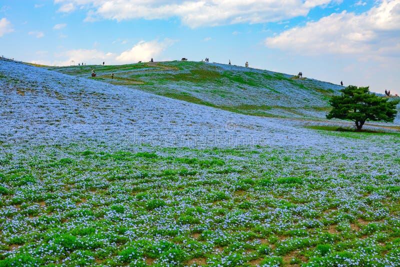 El parque de playa de Hitachi en Japón dibuja turistas a sus colinas de las flores de los ojos de azules cielos, o nemophila imagen de archivo