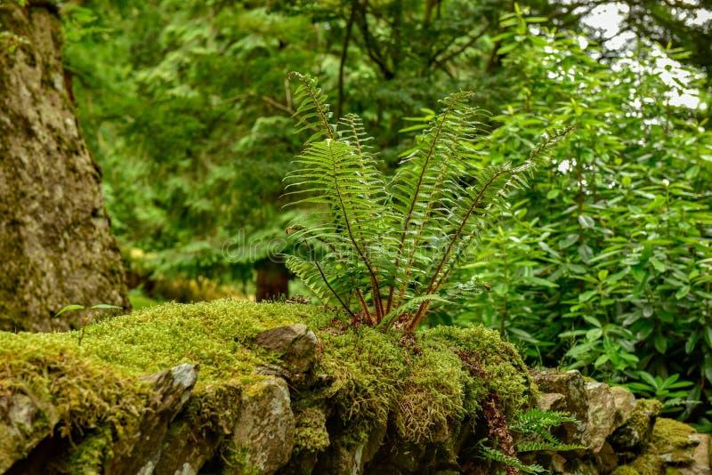 El parque nacional del distrito del lago, helechos del bosque imagen de archivo libre de regalías