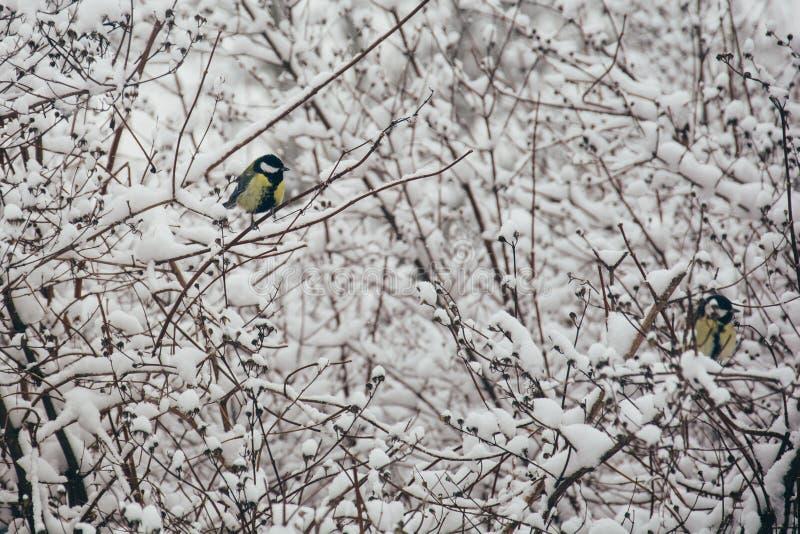 El Parus del paro carbonero que el comandante se sienta en la extremidad de una rama fina, su pico se cubre con nieve foto de archivo libre de regalías