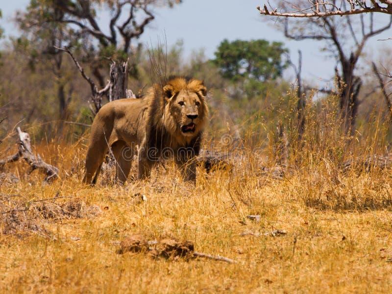 El paseo del león fotos de archivo