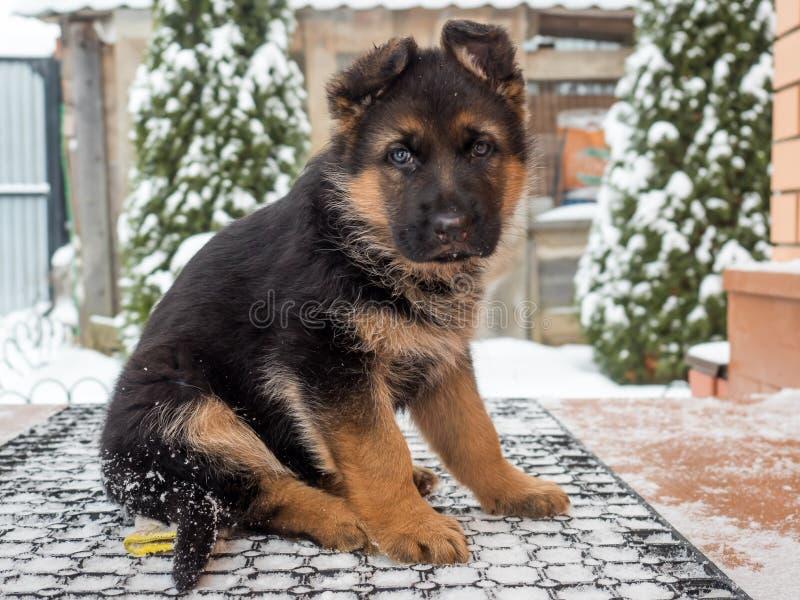 El pastor alemán del perrito se sienta en el pórtico de la casa en invierno foto de archivo libre de regalías