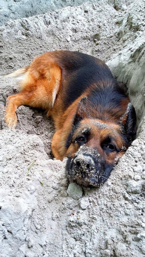 El pastor alemán Dog quiere dormir en su hueco de la arena fotografía de archivo libre de regalías