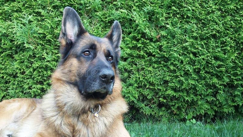 El pastor alemán hermoso Dog consigue un ruido fotografía de archivo