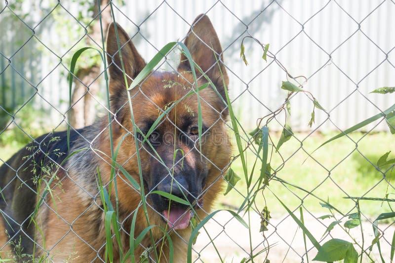 El pastor alemán mira a través de la cerca y de la hierba fotos de archivo