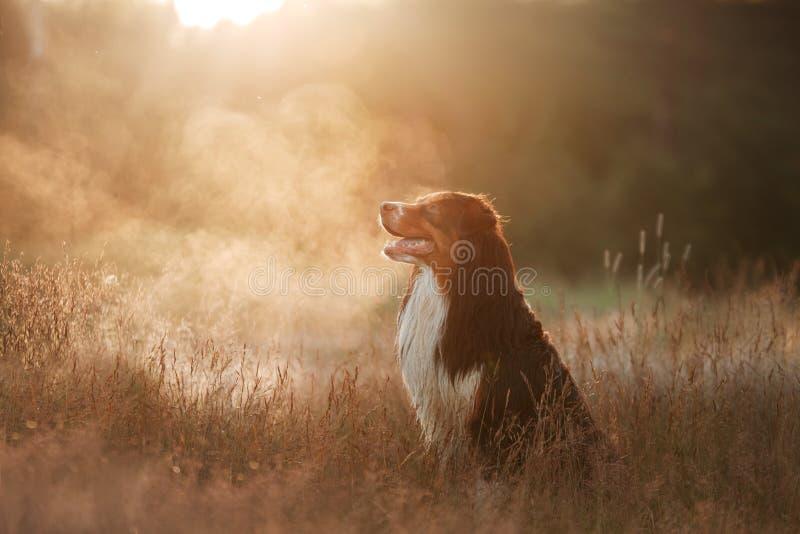 El pastor australiano en la hierba Perro en la puesta del sol fotografía de archivo