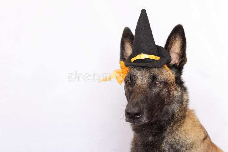 El pastor belga Malinois se vistió en un sombrero agudo y una flor anaranjada para el partido de Halloween con los oídos rectos fotografía de archivo