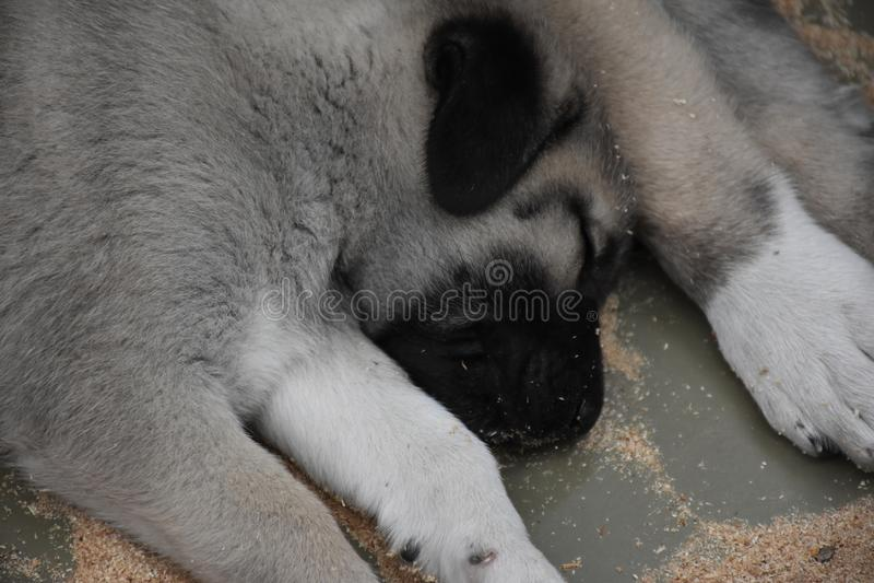 El pastor de Anatolia Dog Turkey del perro de Sivas Kangal imagen de archivo libre de regalías
