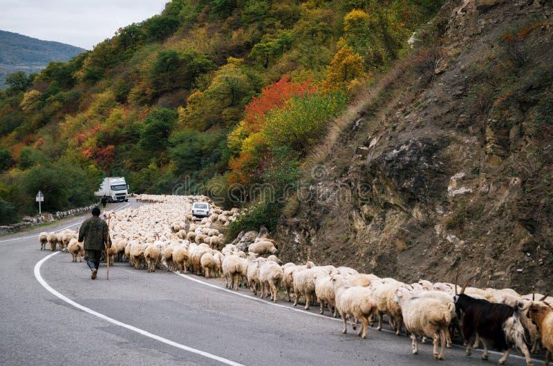 El pastor está reuniendo la manada de ovejas a lo largo de los militares georgianos, Georgia imagenes de archivo