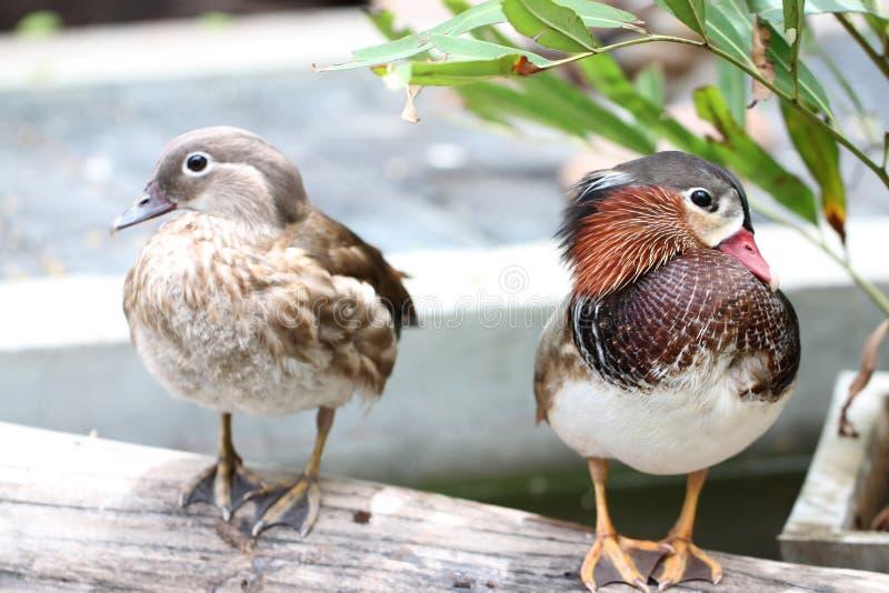 El pato con alas verde del trullo tiene una furia fotografía de archivo libre de regalías