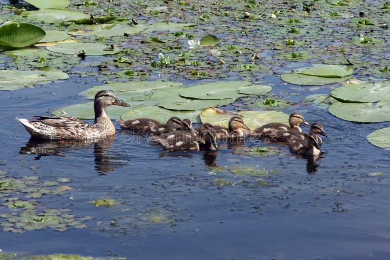 El pato con los anadones está flotando en la charca demasiado grande para su edad fotografía de archivo