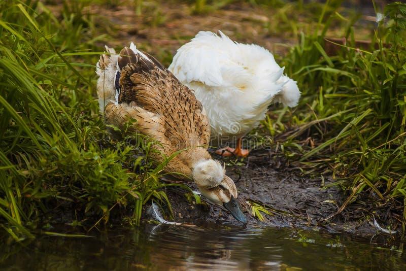 El pato copetudo con color bebe el agua del pluma abigarrado río imagen de archivo