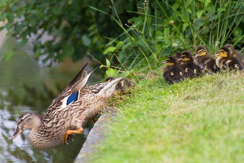 El pato de la madre engaña polluelos en agua imagen de archivo
