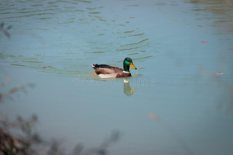 El pato masculino está nadando en un río, un agua azul y un soto borroso imagen de archivo