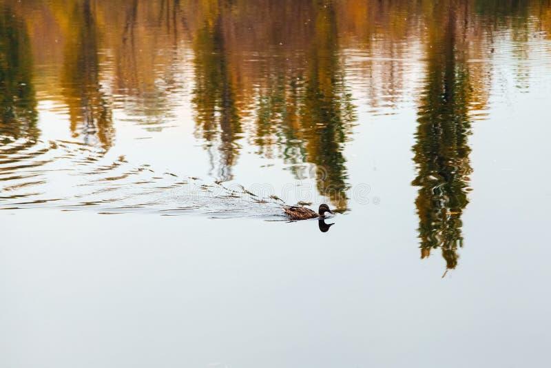 El pato nada en el lago imagen de archivo