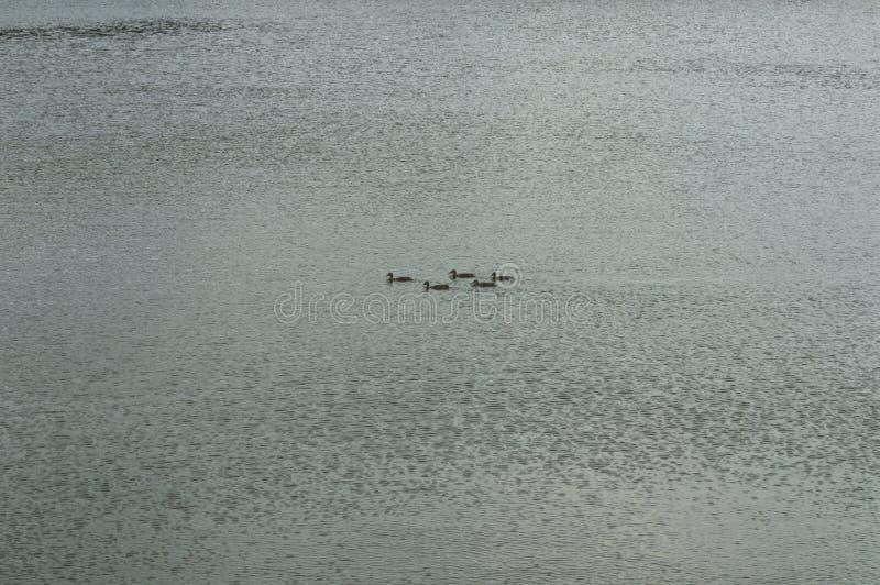 El pato nada en un lago limpio de la montaña foto de archivo libre de regalías