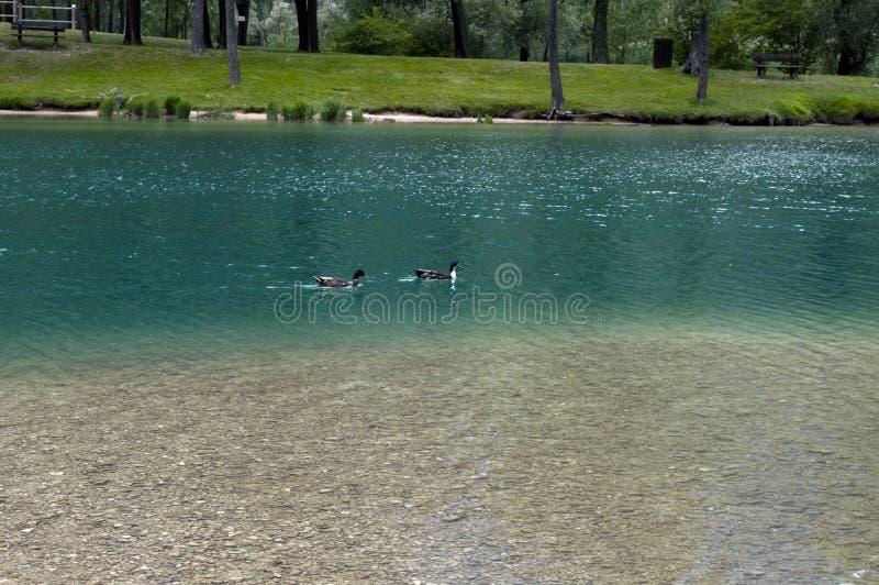 El pato nada en un lago limpio de la montaña imágenes de archivo libres de regalías