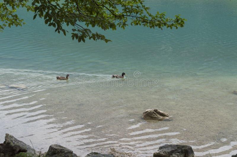 El pato nada en un lago limpio de la montaña imagen de archivo libre de regalías